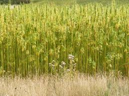 Hemp plants -  source of the oil for our soap